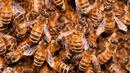 Honey bee swarm (credit: Umberto Salvagnin CC BY 2.0)