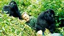 Sir David Attenborough Life on Earth gorilla encounter January 1978 (Credit: John Sparks)