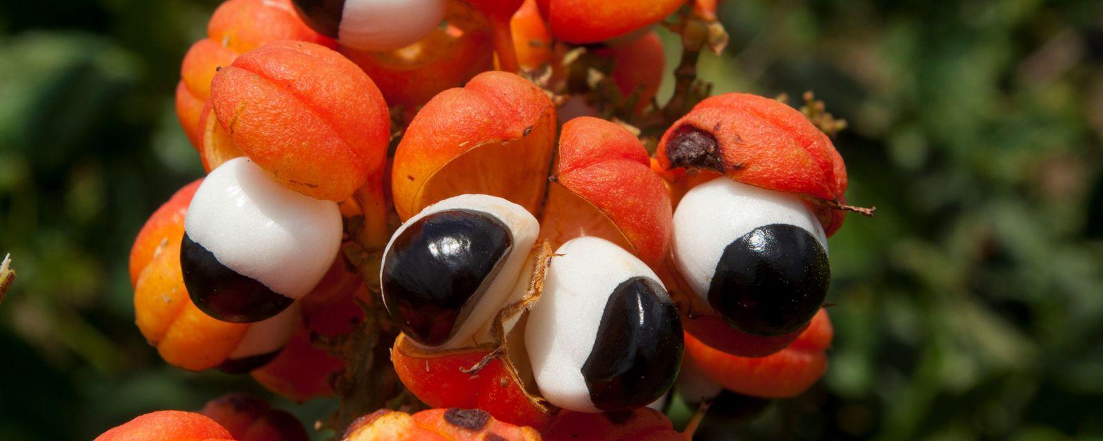 Guarana the edible eye of the Amazon