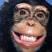 Can this sneaky chimp read minds? thumbnail
