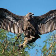 Vultures: Halting killer diseases thumbnail