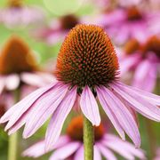 Does echinacea prevent colds? thumbnail