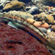 A fish's epic 300m climb thumbnail
