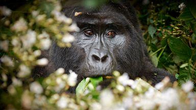 A silverback gorilla hides in Uganda's Bwindi Impenetrable National Park (Credit: Juergen Ritterbach/Image Bank/Getty)