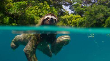 Pygmy three-toed sloth on the island of Escudo de Veraguas, Panama (Credit: BBC 2016)