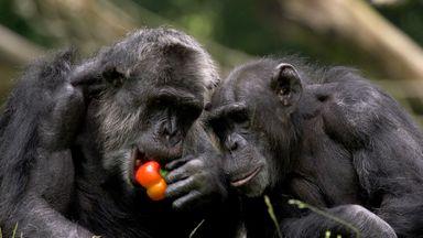 Chimp empathy