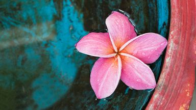 Pink plumeria in Indonesia (Credit: Credit: Surachet99/Getty Images)