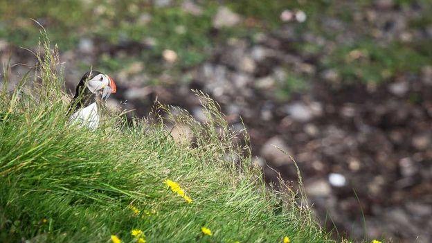 Icelandic puffins (Credit: Chris van Hove)