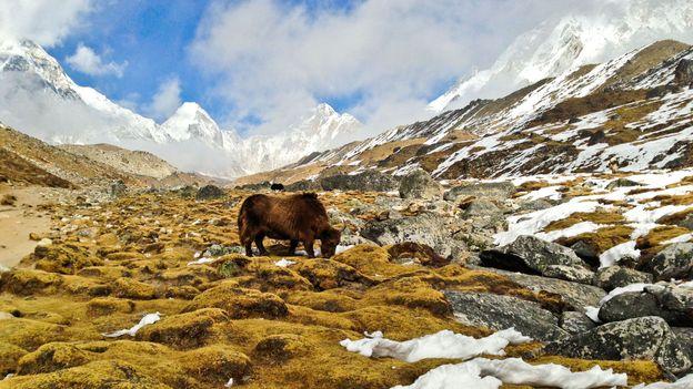 A yak grazes at 5,000m (Credit: Adam Popescu)