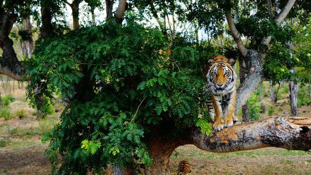 Mauritius tigers (Credit: Kirsten Alana)