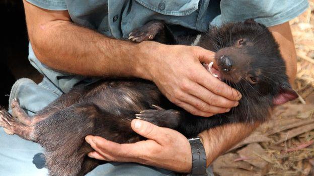 Tasmanian Devil (Credit: Gina Dowd)