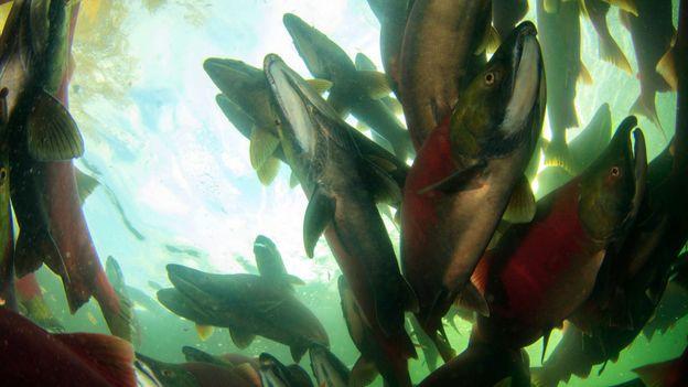 Salmon overhead (Credit: Josh Humbert)