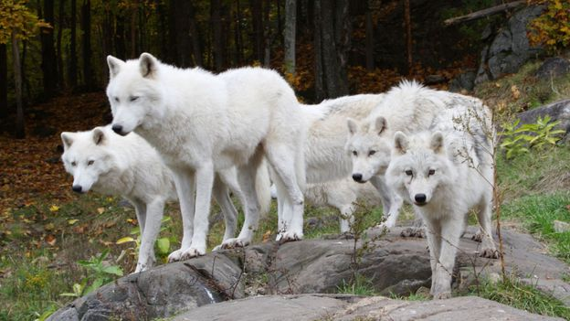 Bbc Earth Eight Surprising Things You Never Knew About Wolves