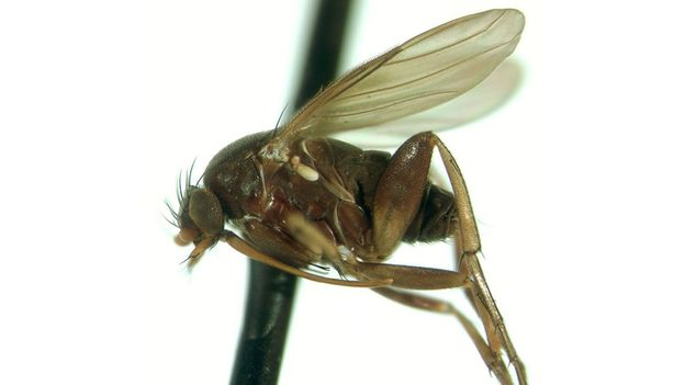 Bbc Earth Phorid Fly Is The Headhunter Of The Animal Kingdom