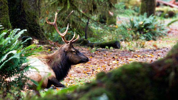 An elk in the Hoh (Credit: Amanda Castleman)