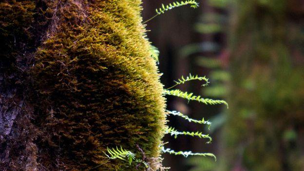 Baby ferns in the Hoh (Credit: Amanda Castleman)