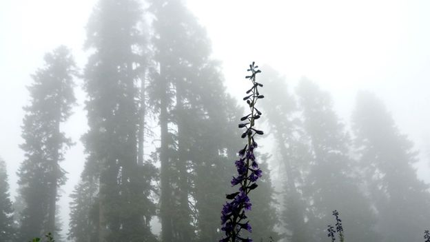 Larkspurs in the fog at Spirit Lake (Credit: Andy Murdock)