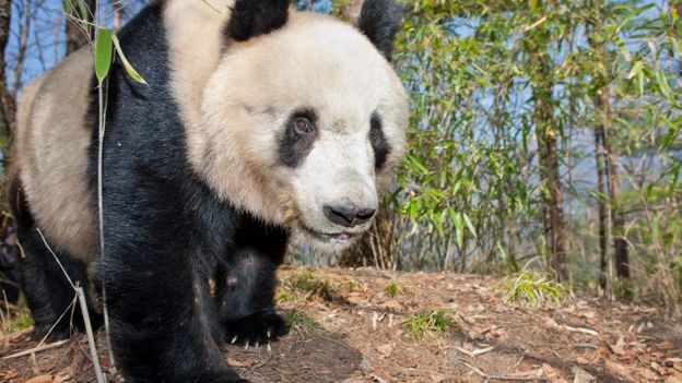 Bbc Earth The Truth About Giant Pandas