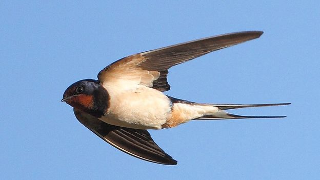 BBC - Earth - Swallows are a welcome sign of spring