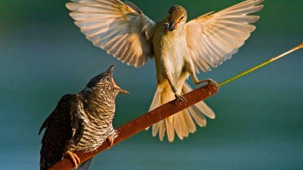 Bbc Earth Devious Ways Birds Fight Egg Wars
