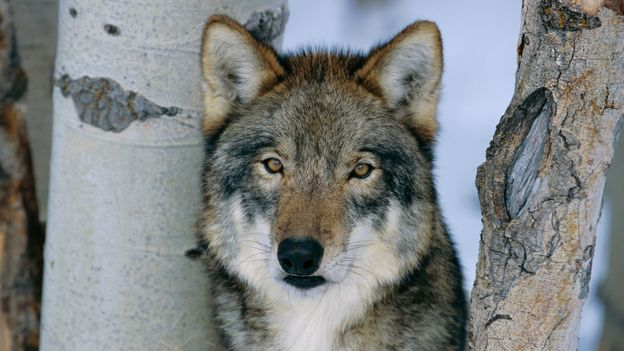 Wolves help trees to grow (Credit: Lynn M. Stone/NPL)
