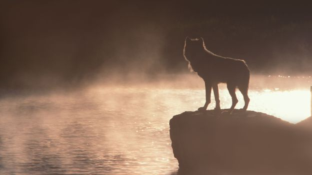Most of us don't see wolves as they really are (Credit: Jeff Vanuga/NPL)