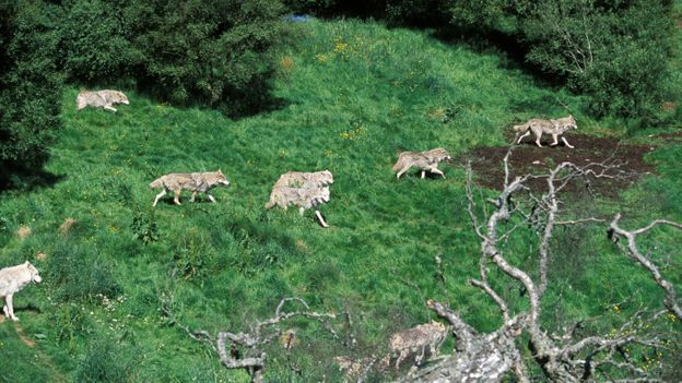 Wolf packs are tight-knit family units (Credit: David Kjaer/NPL)