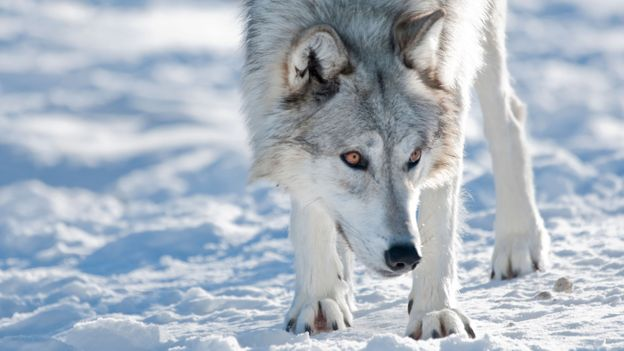 Wolf packs can control huge territories (Credit: Robert Harding World Imagery/Alamy)