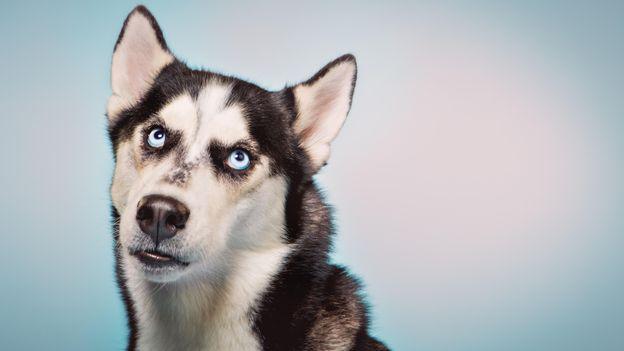 Köpekler bize Demodex akarları vermiş olabilir (Fotoğraf: Christina Gandolfo / Alamy)