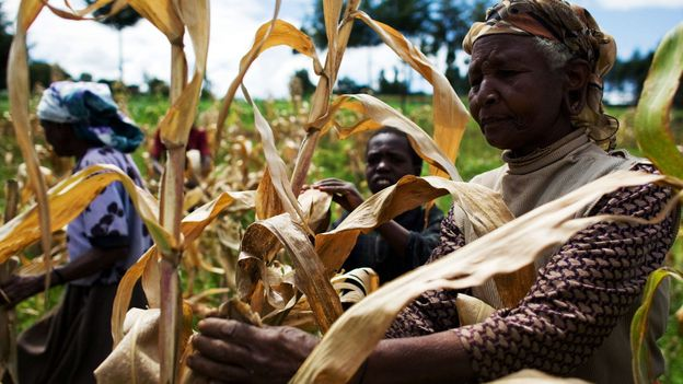 Picking corn in the Great Rift Valley (Credit: Credit: AFP/Getty)