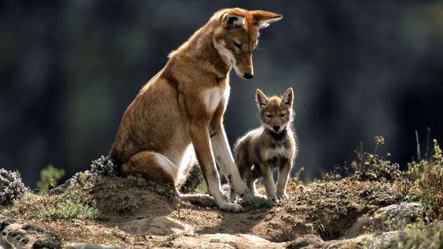 Ethiopian wolves (Credit: Credit: Anup Shah)