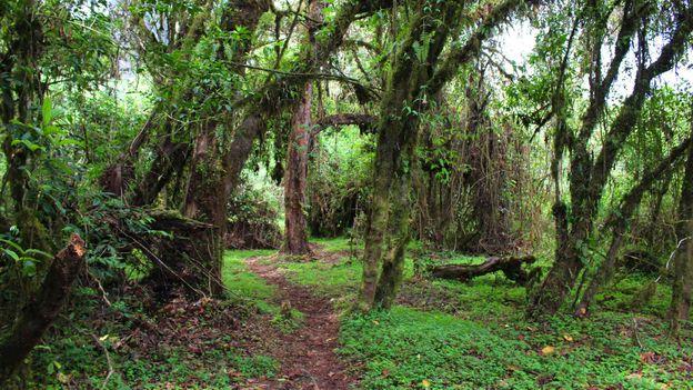 Inside the Harenna Forest (Credit: Credit: Pamela Robbie)