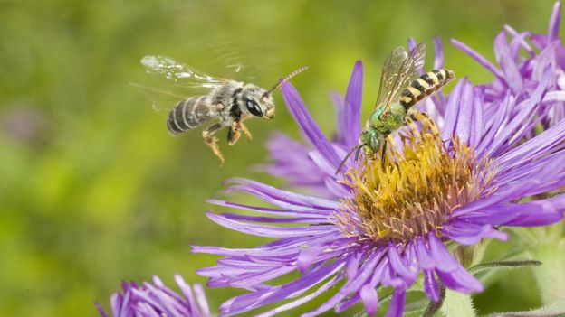 Not yellow-and-black: Halictus poeyi and Agapostemon splendens (Credit: Clay Bolt/NPL)