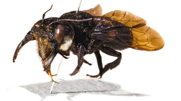 Megachile pluto may be the world's largest bee (Credit: The Natural History Museum/Alamy)