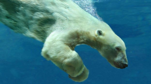 Bbc Earth Polar Bear Breaks Diving Record
