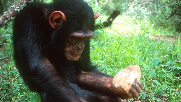 BBC - Earth - Chimpanzees and monkeys have entered the Stone Age