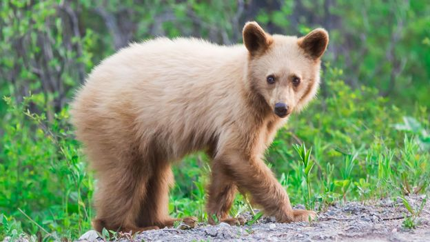 A baby bear crosses the road (Credit: Credit: Richard Seeley/iStock)