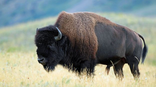 A plains bison in Waterton (Credit: Credit: Brian Lasenby/iStock)