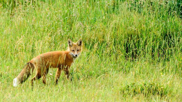 A Red Fox lurks in the Waterton plains (Credit: Credit: John W Nixon/iStock)