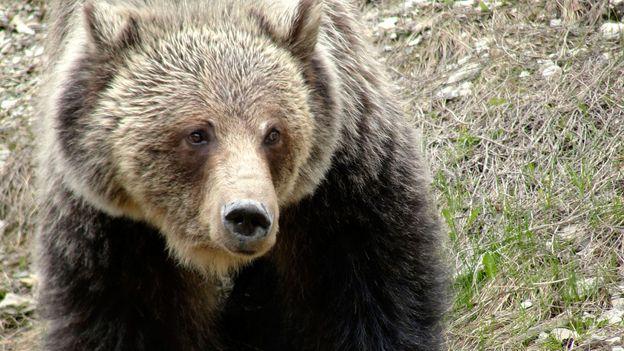 Bears roam freely in Waterton (Credit: Credit: Carol Patterson)