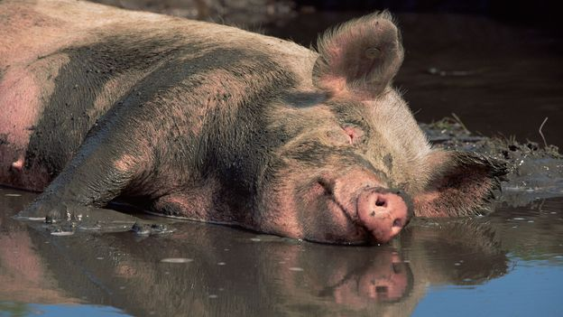 BBC - Earth - The truth about pigs