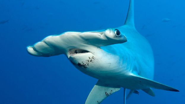 BBC - Earth - Why do hammerhead sharks look like that?