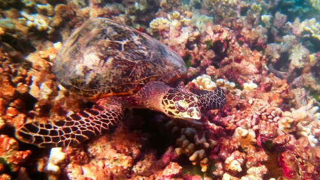 A sea turtle floats about the reef (Credit: Credit: Diane Selkirk)