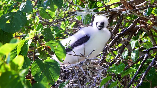 A red-footed boobie chick pokes out from a nest (Credit: Credit: Diane Selkirk)