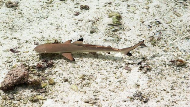 A small shark swims in shallow waters (Credit: Credit: Diane Selkirk)