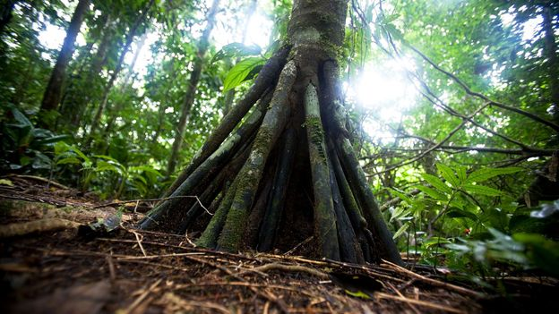 The walking palms of Ecuador move about two centimeters a day (Credit: Credit: Andrew Linscott/Alamy)