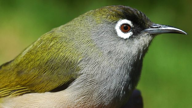 The Réunion olive white-eye is indigenous to the island of La Réunion (Credit: Credit: Joss12000/Wikipedia/CC BY-SA 3.0)