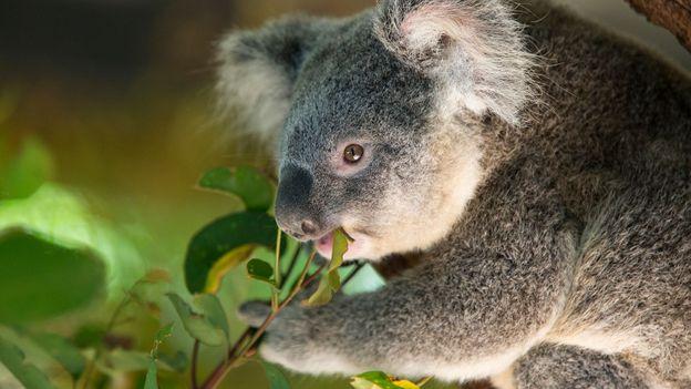 Bbc Earth Why We Might Need To Kill Australia S Koalas