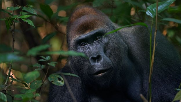 Bbc Earth Are Gorillas A Danger To People