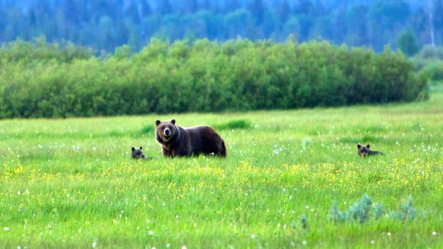 Grand Teton National Park is home to grizzly bears (Credit: Credit: Hansrico Photography/Getty)